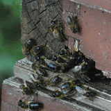 Het geluid van bijen